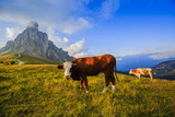 Summer landscape, alpine pass and cows, Passo Giau with famous Nuvolau peaks in background, Dolomites, Italy, Europe - 196862503