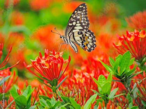 Motyl na ixora kwiatu coccinea w ogródzie.