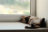 One gray fluffy cat lies on its back on white windowsill