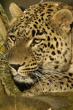 Fototapeta Persian leopard