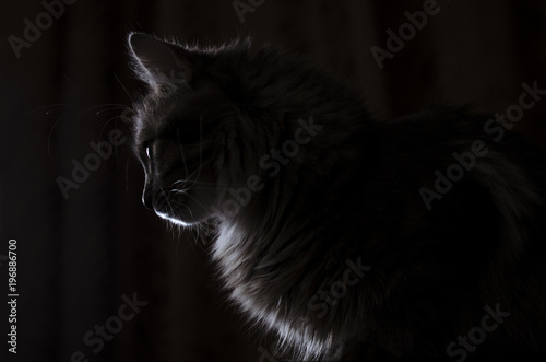 cat in contrast light in profile is isolated on black