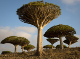 Dragon's Blood Trees at Sunrise on Socotra, Yemen - 196888949