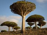 Dragon's Blood Trees at Sunrise on Socotra, Yemen - 196888949