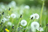 Blooming dandelion flowers (Taxacum officinale). Spring nature background. Medicinal plant.