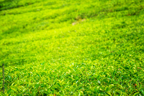 Foto op Canvas Lime groen Green plantation of Ceylon tea.