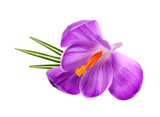 Crocus flower with leaves isolated on white background - 196904903