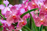 Close-up of a bunch of colorful pastel pink orchids with wavy petals and orange-red lips covered with raindrops on a green leafy background, Singapore. Travel and nature concept. - 196907138