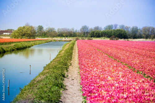 Fotobehang Candy roze Blossom tulip flowers on colorful countryside field in Holland