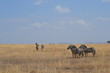 Zèbres du Serengeti