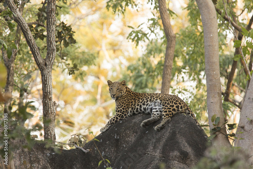 Fototapeta Leopard in habitat eye contact