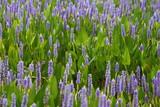 fleurs violettes dans marais - 196920532