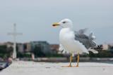 A large seagull on a concrete pier close up. - 196929537