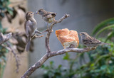 the sparrows fight over breakfast!