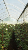 View of a plantation of white roses with long stems inside a greenhouse covered with translucent plastic - 196934957