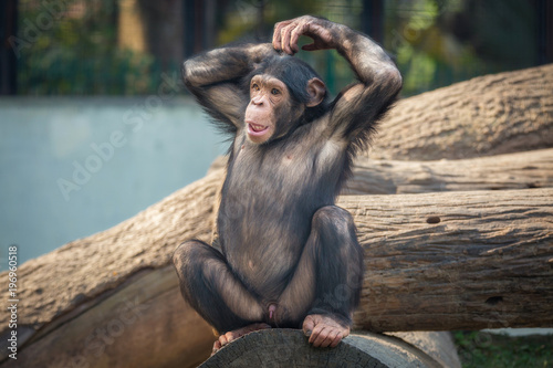 Wall mural Baby Chimpanzee with a cute thoughtful expression.