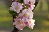 Chinese flowering crab-apple blooming - 196970994