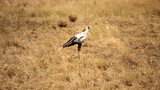Secretary bird (Sagittarius serpentarius) in yellow bush. Amboselli national park, Kenya