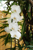 Beautiful Orchid flower, Phalaenopsis schilleriana grows and blooms in the tropical garden. Vibrant Orchids background.
