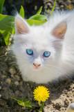 White kitten with dandelion