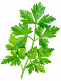 Parsley herb. Macro shot of small branch. - 196981755