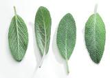 Fresh velvet leaves of garden sage on the white background. - 196981934