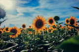 Field of sunflowers. Background a blue sky with clouds and sun