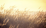 Ripening spikelets of golden wheat field on the sunset. sun rays on horizon. landscape of sunrise in rural. Close up. rich harvest.