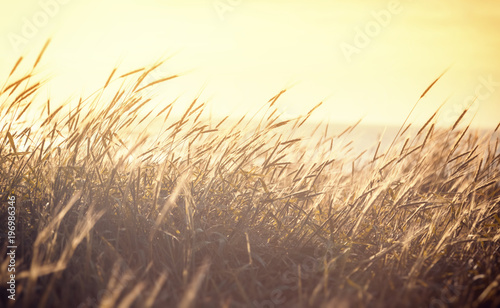 Ripening spikelets of golden wheat field on the sunset. sun rays on horizon. landscape of sunrise in rural. Close up. rich harvest. - 196986346