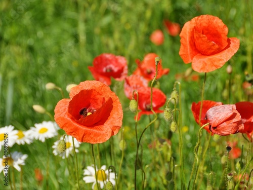 Foto op Canvas Klaprozen Red poppy, flowers. Spring and summer flowers.