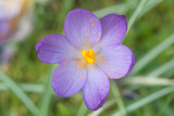 Purple Crocus sp. flowering amongst grass from above. Looking down on late winter flower (family Iridaceae) showing yellow stamens among grass - 197016328