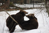 Brown bear siblings playing on the snow. Bavarian Forest National Park. - 197016985
