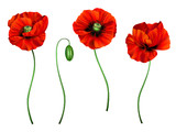 3d illustration of red poppy  - 197026114