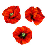 3d illustration of red poppy  - 197026137