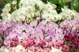 Fototapety Refreshed Phalaenopsis Orchid Blooming flowers Joyful in Spring flower garden Colorful .