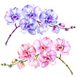 Pink and blue moth orchid (Phalaenopsis) flowers. Set of two images.  Isolated on white background.  Watercolor painting.