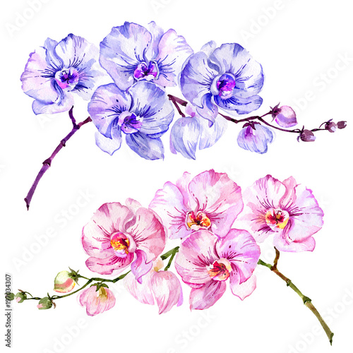 Pink and blue moth orchid (Phalaenopsis) flowers. Set of two images.  Isolated on white background.  Watercolor painting. - 197034307