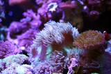 Sea anemones  in the aquarium tank. Aquatic saltwater with rock mountain relaxation hobby and beautiful decoration in house. - 197040938