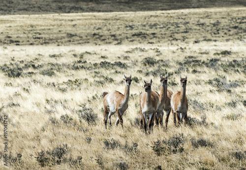 Aluminium Fyle Five curious guanaco lamas in pampa