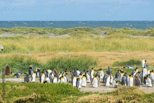 Aluminium Fyle Colony of king penguins at Tierra el Fuego in Chile