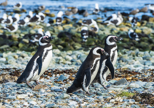 Fotobehang Pinguin Three Magellanic penguins on Magdalena island in Chile