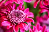 Close-up of purple chrysanthemum flower - 197046556