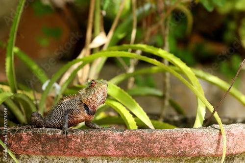 Fototapeta Chamäleon oder Sägerückenagame aus Sri Lanka