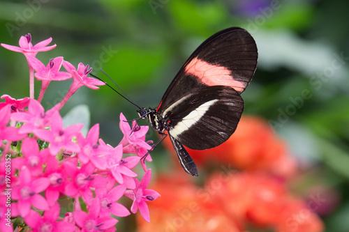 Motyl karmienia kwiatów