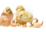 newborn chickens on white background
