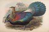 Birds of Asia Lophophorus L`Huysi