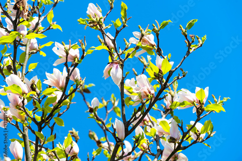 Fototapeta Blossoming of magnolia trees against blue sky during spring