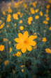 blooming yellow flower in the garden, Cosmos field in Thailand - 197120796