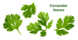 Coriander leaf isolated without shadow - 197122762