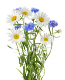 chamomile and cornflowers isolated without shadow