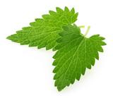 Lemon balm melissa leaf isolated on white - 197122784